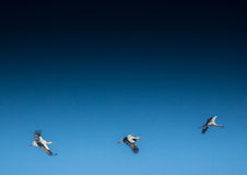 Storks on a field and in the air. Storks and Grey Cranes on a field and in the air near the City of Erlangen, Germany Stock Photography