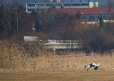 Storks on a field and in the air in spring. Storks and Grey Cranes on a field and in the air near the City of Erlangen, Germany Royalty Free Stock Images