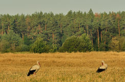 Storks in the field Stock Photos