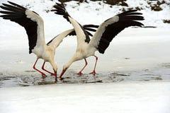 Storks Stock Photos