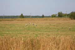 Storks. Five storks on the field Stock Photo