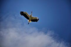 Storks flying Stock Images