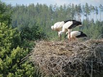 Young storks are getting ready for the flight royalty free stock photos