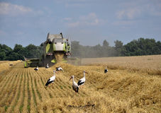Storks in the harvest field_2 Stock Images