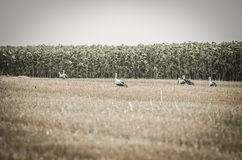 Storks on a harvest wheat field Royalty Free Stock Photos