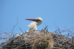 Storks Royalty Free Stock Photos