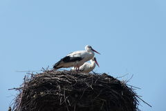 Storks. Have returned home in the spring Royalty Free Stock Photos