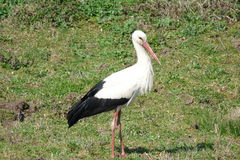 Storks. Have returned home in the spring Royalty Free Stock Images