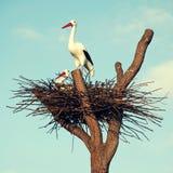 Storks i bygga bo Royaltyfri Bild