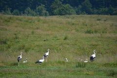 Storks i bygga bo Royaltyfri Fotografi