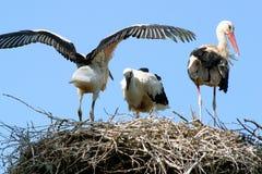 Storks i en rovfågelsnäste Arkivfoto