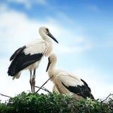 Storks i redet arkivbilder