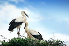 Storks i redet Fotografering för Bildbyråer