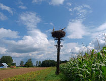 Storks In Nature. Stock Photo