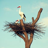 Storks In The Nest Royalty Free Stock Image