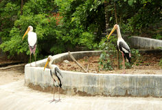 Storks-5 Stock Photos