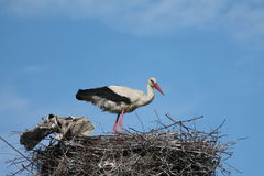 Storks. Lat. Ciconia is a genus of birds from the order Ciconiiformes. White stork lat. Ciconia Ciconia is a large wading bird of the family iscovich royalty free stock photos