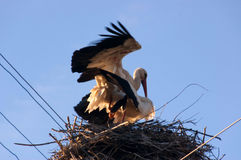 Storks in a love embrace. The pole in his nest Stock Images