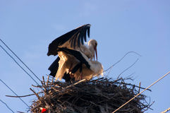 Storks in a love embrace. The pole in his nest Stock Photography