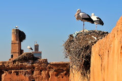 Storks in Marrakech. Storks in their nests on ruins of an old wall in Marrakech Morocco with Minaret of a Mosque in background Royalty Free Stock Image