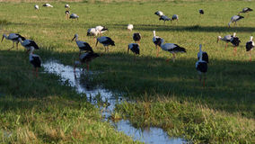 Storks in a Meadow Stock Photos