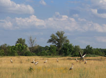 Storks on the meadow Royalty Free Stock Images