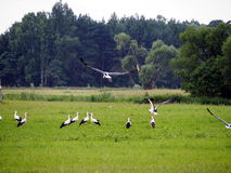 Storks on the meadow Stock Photography