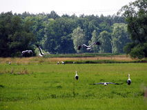 Storks on the meadow Royalty Free Stock Photography