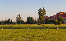 Storks in a Meadow Outskirts the City Royalty Free Stock Image