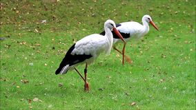 storks on meadow stock footage