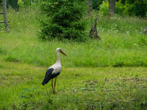 Storks in nature Stock Photos