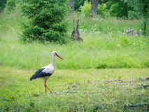 Storks in nature Royalty Free Stock Photo