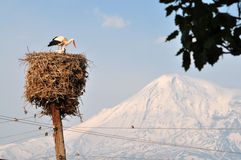 Storks near Ararat in Armenia. Storks nest in Armenia on a background sacred biblical Mount Ararat near the monastery Khor Virap Stock Photography