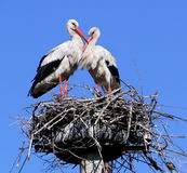 Storks. Near rural yards. Ukraine, Poltava region Stock Images