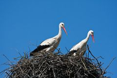 Storks in nest Stock Photography
