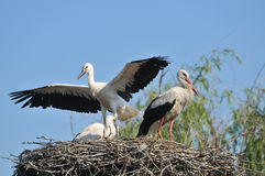 Storks in nest. Flaying stork over nest with cloud in background Stock Photos