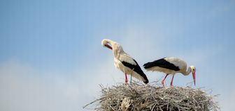 Storks in nest Royalty Free Stock Photo