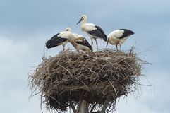 Storks in nest royalty free stock photography