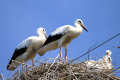 Storks on nest Royalty Free Stock Photos