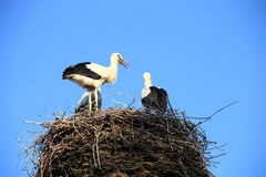 Storks nest Stock Images