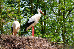 Storks on a nest Stock Image