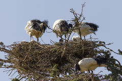 Storks in the nest Stock Photography