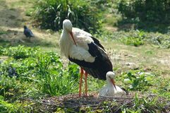 Storks with nest Royalty Free Stock Image