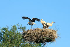 Storks in the nest. A stork flying away from the nest Royalty Free Stock Image
