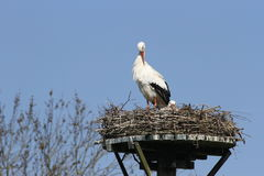 Storks on nest against blue skies Stock Photography