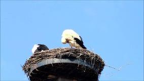 Storks in nest against blue sky stock video