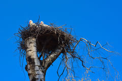Storks at the nest Royalty Free Stock Image