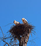 Storks at the nest Royalty Free Stock Photos