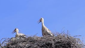 Storks in the nest. stock footage