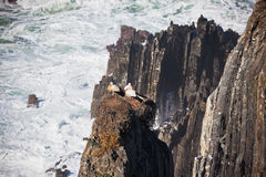 Storks Nest on a Cliff at Western Coast of Portugal Stock Photography